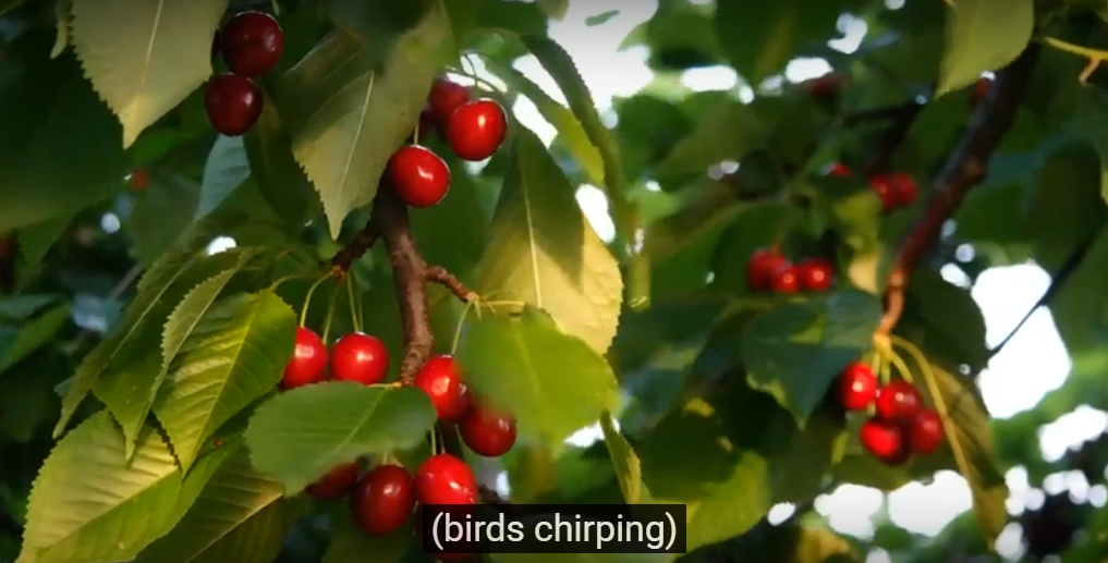 A picture of cherry trees with Subtitles for Deaf and hard of hearing displayed over it with sounds of birds chirping